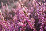 Come through the heather by rosaarvensis