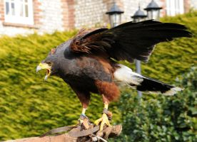 Harris Hawk Stock 14 by LRG-Photography