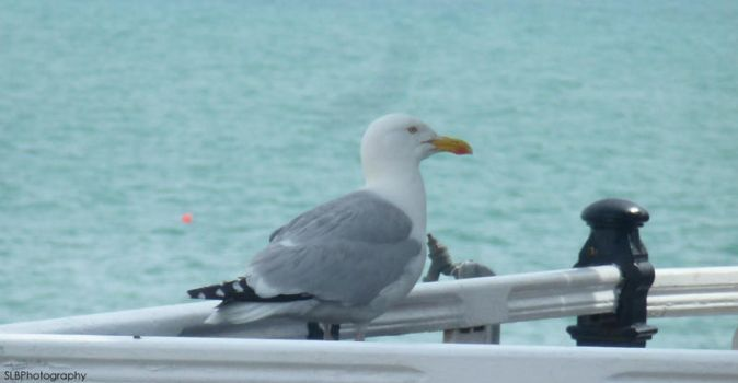 Brighton: Seagull by shannonBAKERx