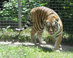 Amur Tiger Stock 12 by HOTNStock