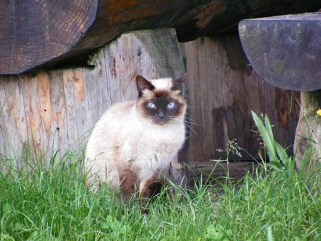 Siamese Cat 2 by CMFbling