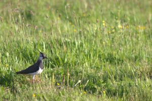 Lapwing by Biology-Meets-Art
