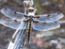 Dragon Fly on a stick by Swashbookler