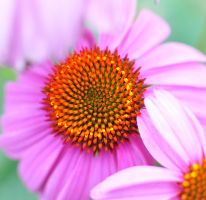 Coneflower Obsession by rhyman77