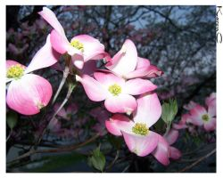 Pink Dogwood by seiyalover