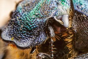 Flower Chafer Beetle at 5x by dalantech