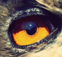 eagle owl eye by DeZzibELl