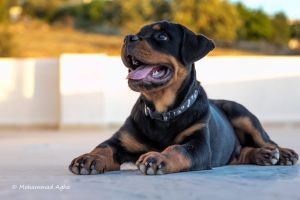 Rottweiler by mohagha