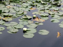 Lillypads by Theattemptedside