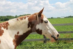 Paint Horse 69 by EquineStockImagery