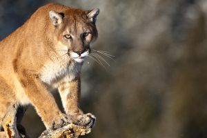 Puma concolor 17 by catman-suha