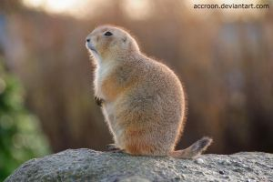 Prairie dog by accroon