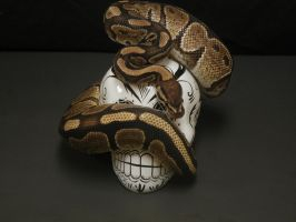 Ball Python 10 by FearBeforeValor