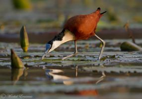 The Africa Jacana by MorkelErasmus