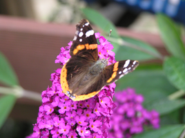 Butterfly 22-07-2015 -5 by 69raywwf