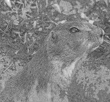 Prairie Dog (b/w sketch effect) by PamplemousseCeil