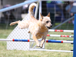 AKC Agility Trial 3 by Deliquesce-Flux