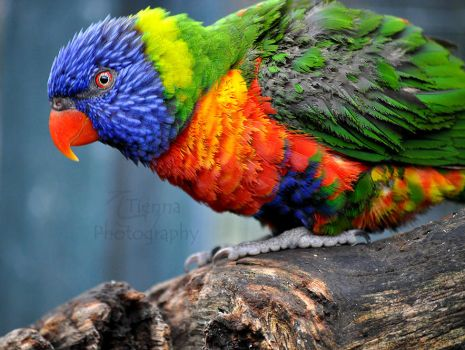 Evil Lorikeet by Tienna