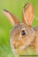 Wild rabbit by phonalys