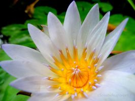 A Little Piece of Heaven: White Water Lily Flower by Cloudwhisperer67