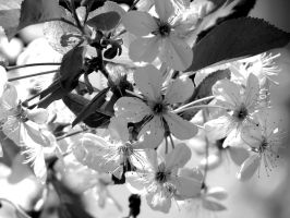 Spring Sour Cherry Blossoms by Kitteh-Pawz