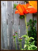 Poppies by Nariane