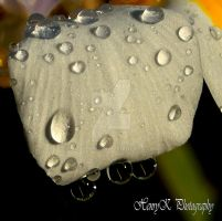 Droplets-on-the-petal by fotoponono