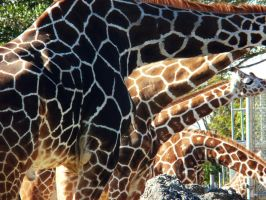 Giraffe Patterns by dfox1992