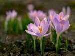 crocusses by Bodghia