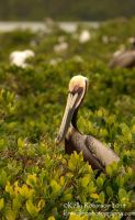 Pelican Profile by Shadow-and-Flame-86