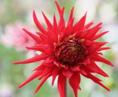 dahlias cologne 11 by ingeline-art