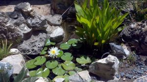 Lotus Flower in Pond by ZacharyWolf