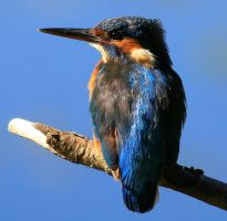 Common Kingfisher by NurturingNaturesGift