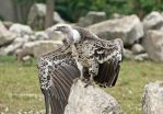 Ruppell's Griffin Vulture by Destined2see