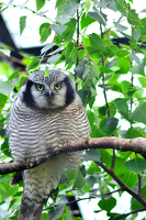 Northern Hawk-Owl by Tapire