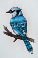 Blue Jay Bird by AneNJ