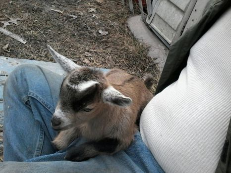 Dobby the lap goat by DeathMeisterStudios