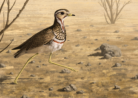Heuglin's Courser by Nachiii