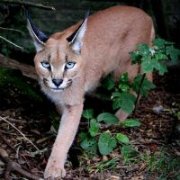 Caracal by SnowPoring