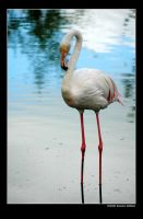 Flamingo by grugster