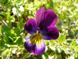 pansy by andi40