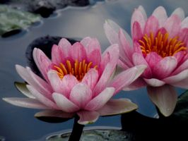 Water Lilies by DocsCompanion