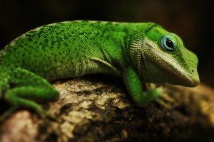 Carolina anole by MireilleLeurs