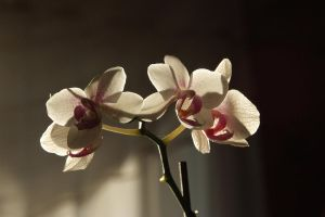 Orchid.2 by justsickgirl14