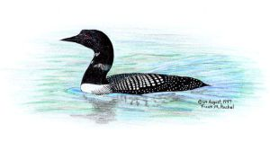 Common Loon, Colored Pencil by FMRachel