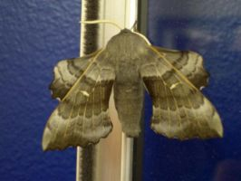 The Laothoe Populi Moth Taken In The Scrapyard 17 by Pho-TasticMathew