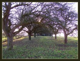 Old Apple Trees by kine80