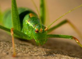 Green Grasshopper super macro by TheFunnySpider
