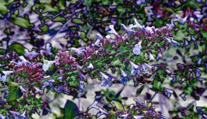 Solarised Shouty Salvia Flower Spike With Bee by aegiandyad