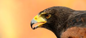 A Real Hunter  -  Harris Hawk Portrait by Manu34